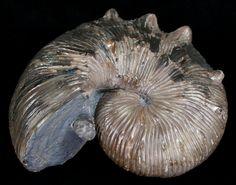 """3 1/4"""" Hoploscaphites Nodosus Ammonite For Sale (#6126) - FossilEra.com"""