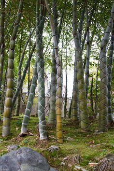 knr55:  亀甲竹
