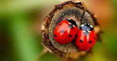 Saiba como atrair joaninhas para seu jardim | Mundo Biologia