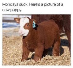 Cow puppy...lol