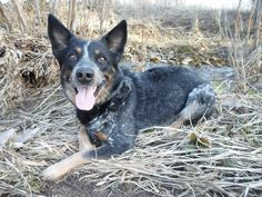 Blue Heeler | Australian Cattle Dog | Abe