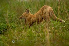 Lazy Monday stretch Cape Breton, Lazy, Wildlife, Fox, Animals, Animales, Animaux, Foxes, Animal