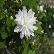 Philadelphus Miniature Snowflake  3 ft