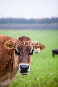 close-up of a cow. - Close-up of a cow at field.