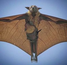 Bat flying with baby. Follow RUSHWORLD on Pinterest where all hell is breaking loose and we're pretty upfront about it.