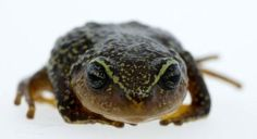 Frog species with yellow eyebrows found in Colombia