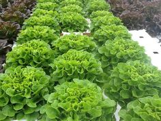 salanova lettuce from Johnny's seed delicious lettuce originally from holland.