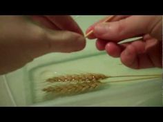 In order to weave with wheat, there are a few basics things that will be required for any weaving you choose to do. This tutorial shows those basics.