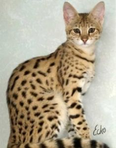 Bengal Cat Facts The Savannah cat is a hybrid cat, a cross between the wild Serval cat and a domestic cat. This guide provides facts about their features, temperament, nutrition, health and stunning cat pictures. Kittens Cutest, Cats And Kittens, Cute Cats, Le Savannah, Pixie Bob Cats, Serval Cats, Animal Gato, Video Chat, Herding Cats