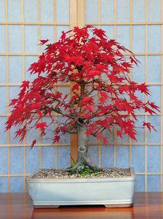 Japanese Mountain Maple (Acer palmatum) by Steve Greaves