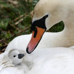 Mama Swan with her Cygnet
