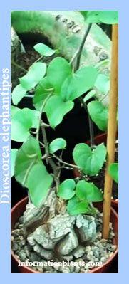 ديسقوريا رجل الفيل Dioscorea Elephantipes النباتات النبات معلومان عامه معلوماتية نبات حيوان اسماك فوائد Plants
