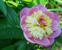 peonies by Kathy Mereand, via Flickr