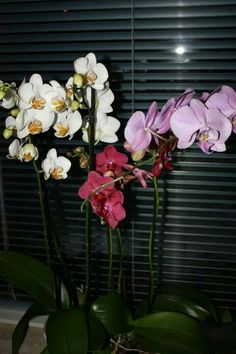 orchids at home   #orchid  #orchidphotography  #stellahaugephoto