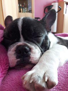 Witaj u Joanny: Buldog francuski - pies o wielkim sercu.