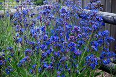 Full size picture of Italian Bugloss, Italian Alkanet, Summer Forget-Me-Not 'Dropmore' (<i>Anchusa azurea</i>)