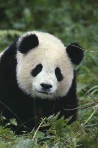 Panda Symbolic Meaning   Spirit Animal  Totem Powers