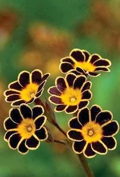 The aptly named Bumblebee primrose. - Garden Style - The aptly named Bumblebee primrose. The aptly named Bumblebee primrose. Unusual Flowers, Amazing Flowers, Pretty Flowers, Nice Flower, Happy Flowers, Black Flowers, Small Flowers, Floral Flowers, Spring Flowers