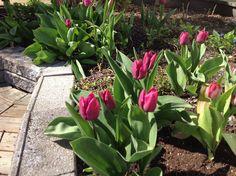 Tulppaanit takapihalla 12.5
