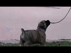 Mintakaroo Bulle, Boerboel puppy 5 weeks old, South Africa South African Boerboel, Farm Dogs, Cute Puppy Pictures, Cute Puppies, Picture Video, Pets, Youtube, Animals, Pagan