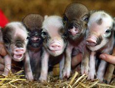 Mini pigs.. They're sorta cute! Teacup Piglets, Cute Piglets, Pet Pigs, Baby Pigs, Baby Animals, Funny Animals, Smiling Animals, Wild Animals, Cute Small Animals