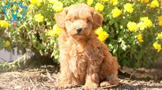 Forest | Cockapoo Puppy For Sale | Keystone Puppies