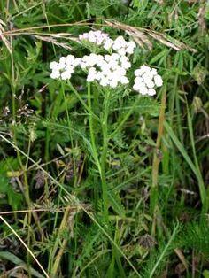 krwawnik caly Achillea Millefolium, Natural Remedies, Herbalism, Food And Drink, Herbs, Garden, Nature, Plants, Diabetes