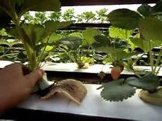 Pesquisa Como cultivar morangos hidroponicos. Vistas 81819.