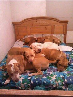 Who needs stuffed animals when you have pitbulls. #bully #dogs #cutedogs…