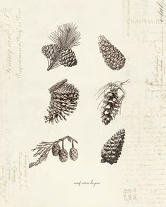 Vintage Pine Cones Neuf Cones De Pin on French Ephemera Print . great for winter time/Christmas Acorn Tattoo, Pine Tattoo, Pinecone Tattoo, Botanical Tattoo, Botanical Prints, Antique Illustration, Botanical Illustration, Vintage Prints, Nouveau Tattoo