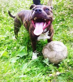 World cup staffy style