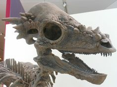 "Pachycephalosaurus (Greek for ""thick-headed lizard""); pronounced PACK-ee-SEFF-ah-low-SORE-us"