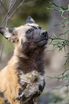 African wild dog - Lycaon pictus, looking up