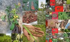 Medicinal Rice based Tribal Medicines for Diabetes Complications and Metabolic Disorders (TH Group-685) from Pankaj Oudhia's Medicinal Plant Database