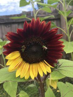 This bicolor sunflower I grew : mildlyinteresting Snow In The Sahara, Color Rosa Neon, Lago Baikal, Giant Sunflower, Sunflower Facts, Sunflower Garden, Sunflower Pictures, Plantar, Cannabis