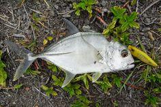 Baby GT nah ini merupakan target jika kita akan memancing di muara sungai atau…