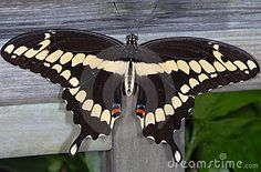 giant-swallowtail-butterfly-
