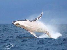 Port Stephens, Port Stephens, Australia - It's whale season!! Jump...
