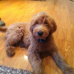 Puppy Breed: Golden Retriever / Poodle Riley is a perfect fluffy little friend. She is very playful and outgoing Mini Doodle Puppies, Doodle Dog, Super Cute Puppies, Cute Dogs, Mini Goldendoodle Puppies, Standard Goldendoodle, Poodle Mix, Puppy Pictures, Dogs And Puppies