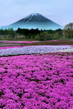 花と富士 ~しばざくら~