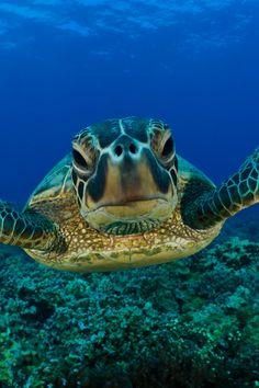 "Sea Turtle, ""Comon, gimme a kiss."""