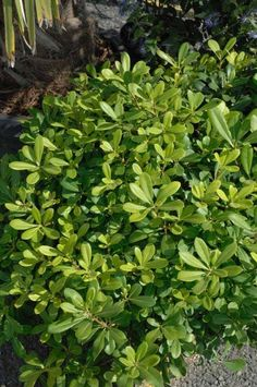 Photo Pittosporum