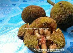 Artocarpus sarawakensis