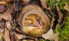 Dormouse as it has a snooze in the Yorkshire Dales National Park, UK. The dormouse is preparing to hibernate ahead of winter.  Photograph: Simon Phillpotts/HotSpot Media
