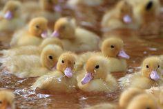 baby ducklings!!