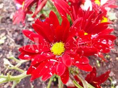 Red chrysanthemum with water drops after rain in my Adobe Stock portfolio Stock Portfolio, Water Drops, Chrysanthemum, Nature Photos, Red Flowers, Adobe, Rain, Victoria, Stock Photos