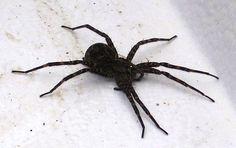 147 best spider s images spiders hand spinning minnesota rh pinterest com