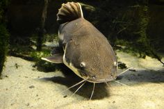 """Did you know the Red Tail Catfish gets big very quickly. It can reach 24"""" or more within a year. Happy National Catfish Day!"""