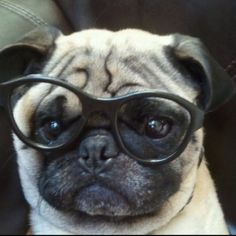 The intellectual pug.
