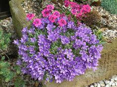 Alpine Garden Society: love campanulas!!!!